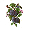 Fruit plums with small butterfly